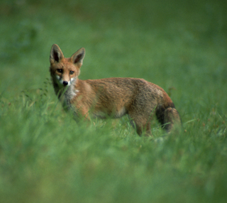Photo: Kit fox