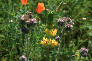 Annual and perennial flowers in Stolp's pollinator planting include phacelia, lupine and California poppy.