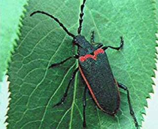 The Valley Elderberry Longhorn Beetle lives along six central California rivers and their tributaries.