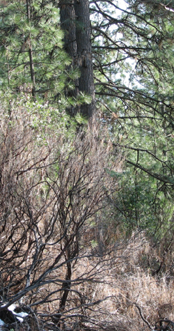 Heavy brush occupying forestland may be the result of a previous 