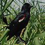 NRCS and Audubon California are working together to save Tricolored Blackbirds.