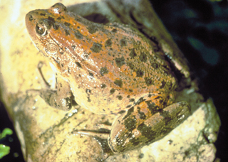 Photo: Red legged frog