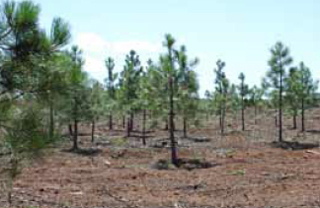 Mixed conifers planted on 53 acres in 2009 as part of a terrestrial carbon sequestration study.