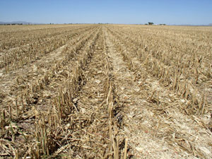 Photo of corn residue taken near Cotton City