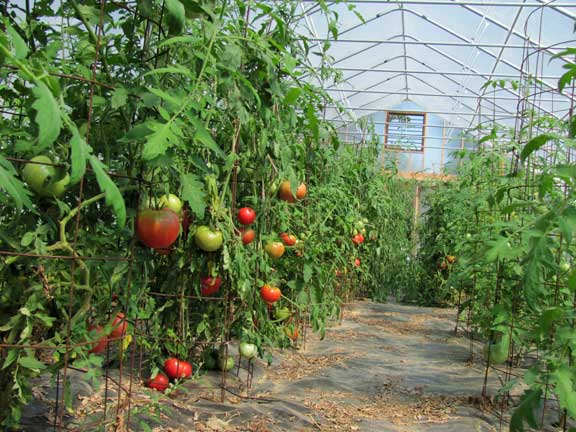The high tunnel produces amazing tomatoes.