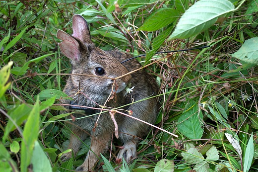 The New England cottontail sits in the grass.