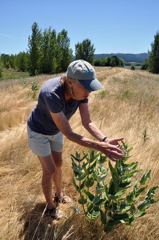 Laurie Halsey examines a cluster of milkweed plants on her ranch.