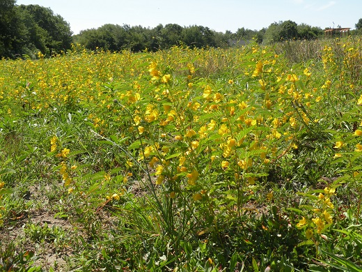 Partridge pea is part of the high-value pollinator mix composed of 16 species of wildflowers planted on Godena Farms.