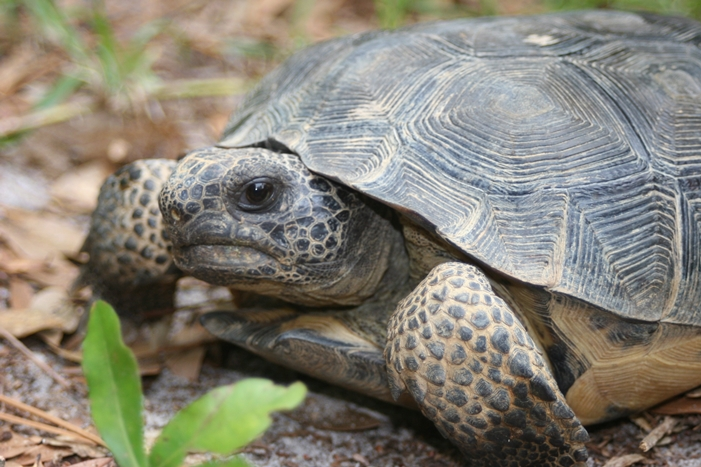 Gopher Tortoise in Mississippi