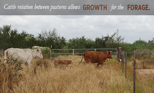 Cattle are rotated between pastures to allow for rest and growth for the forage.