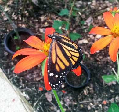 A Puerto Rican monarch butterfly in a garden at the University of Puerto Rico's Utuado butterfly house.