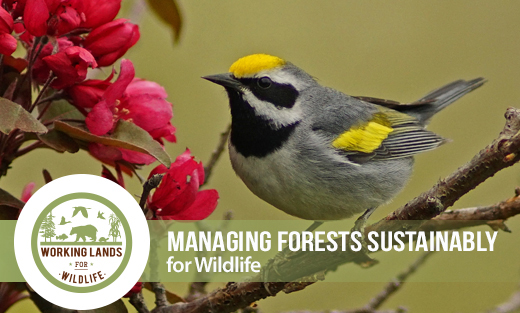 Managing Forests Sustainably For Wildlife Homepage