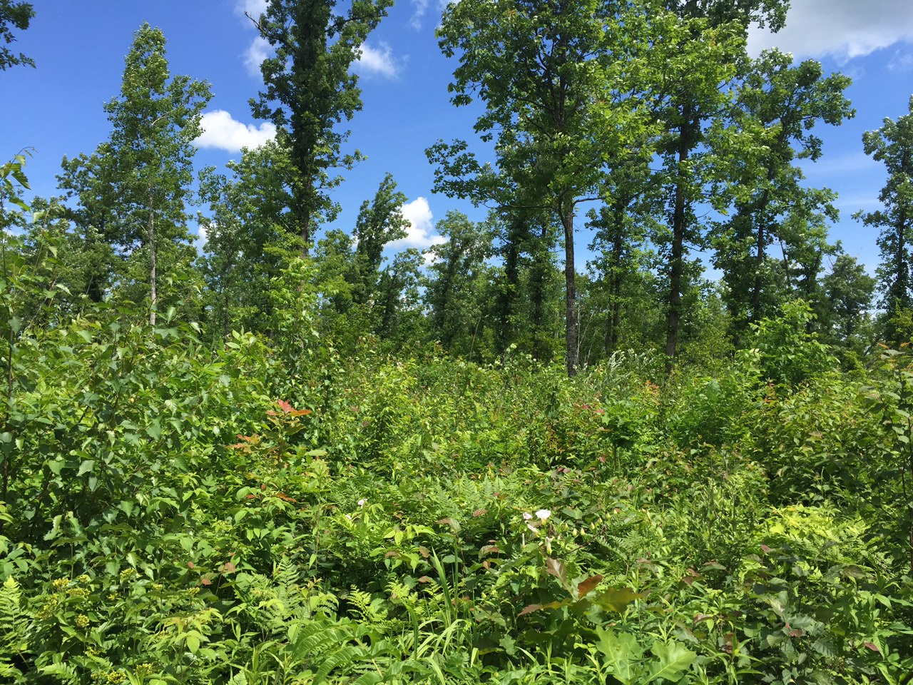Through sustainable forestry practices, ABC and NRCS are working with landowners to create early successional habitat while leaving behind occasional clusters of mature trees.