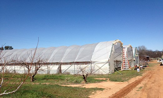 – High tunnels are becoming common across the landscape of Texas and being utilized for multiple crop types.