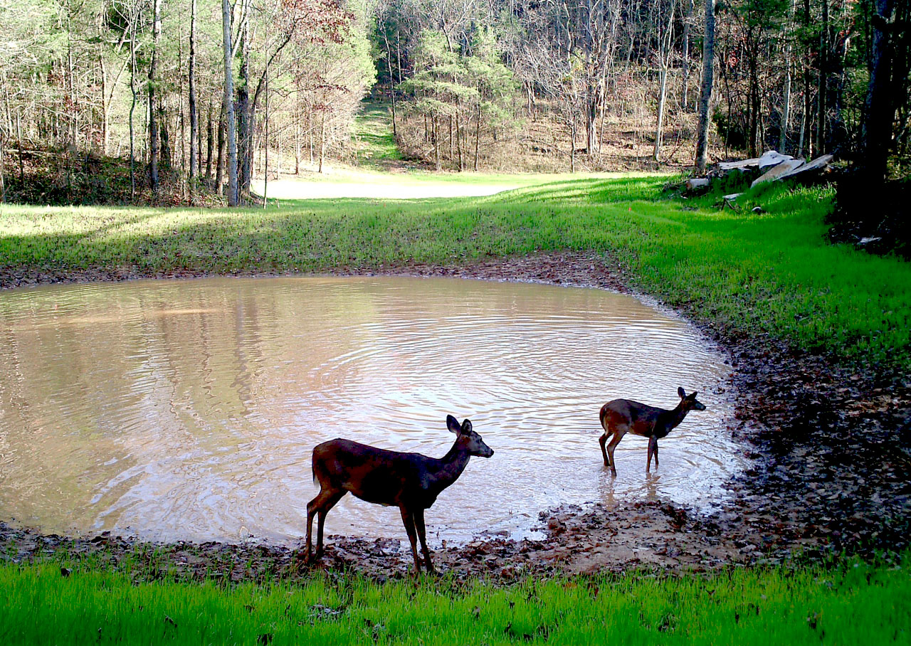two deer stand by pond