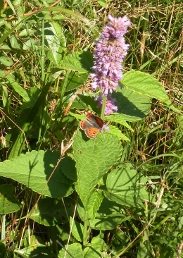 Photo of American copper butterfly on anise hyssop