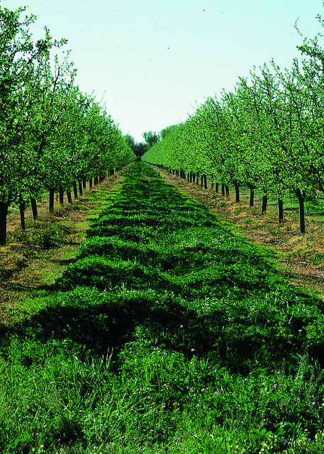Cover crops in an orchard