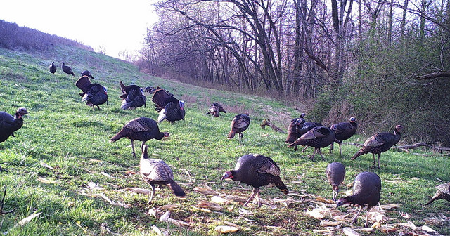 Turkeys roaming free within the protective fences on farm