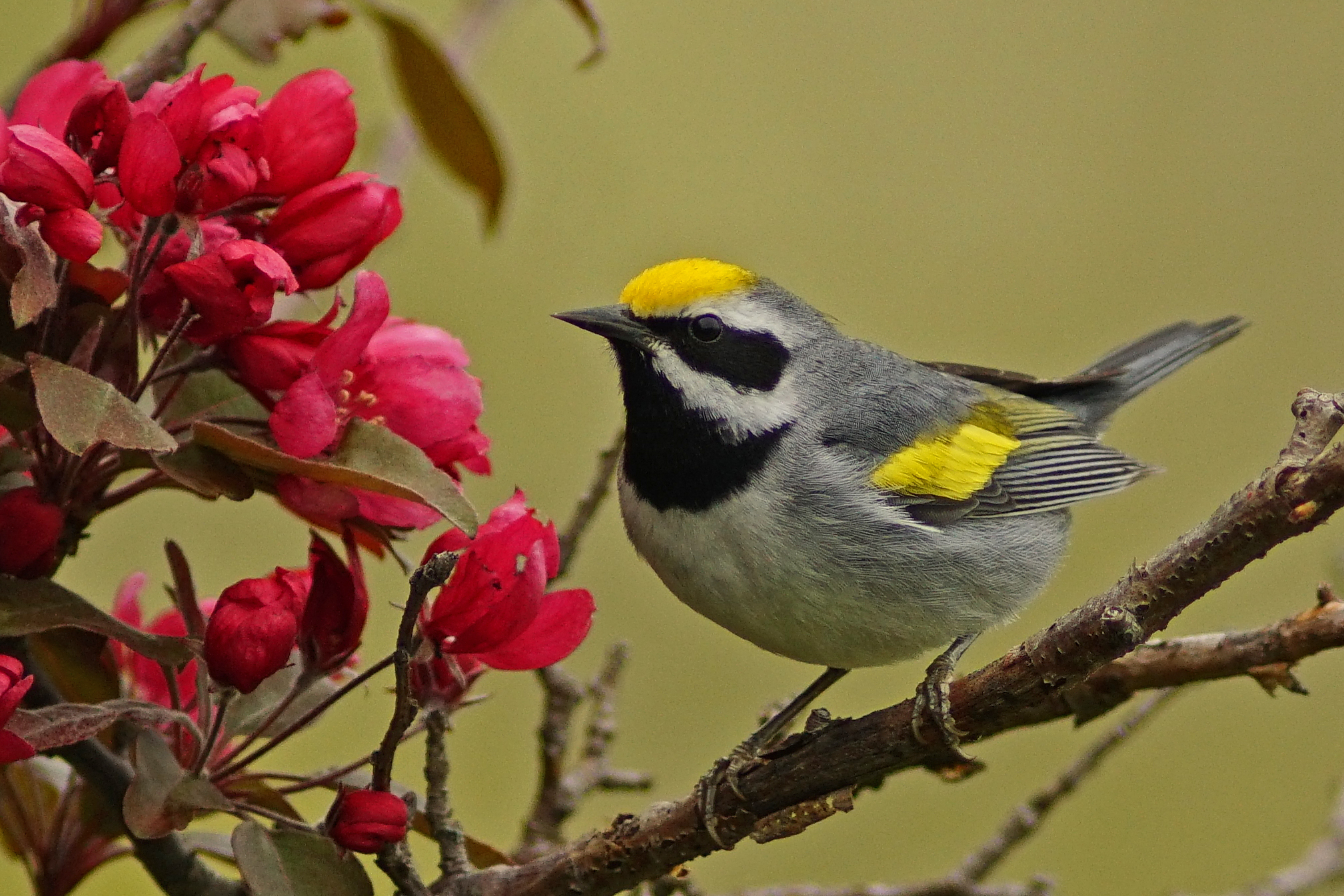 Sustainably Managing Forests Creates Golden-winged Warbler Breeding Habitat