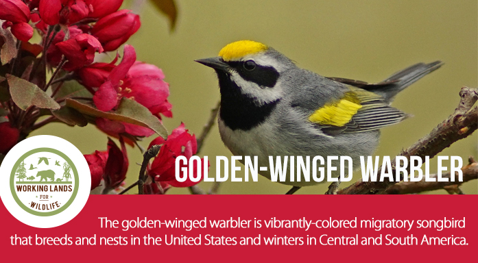 Golden Winged Warbler Header