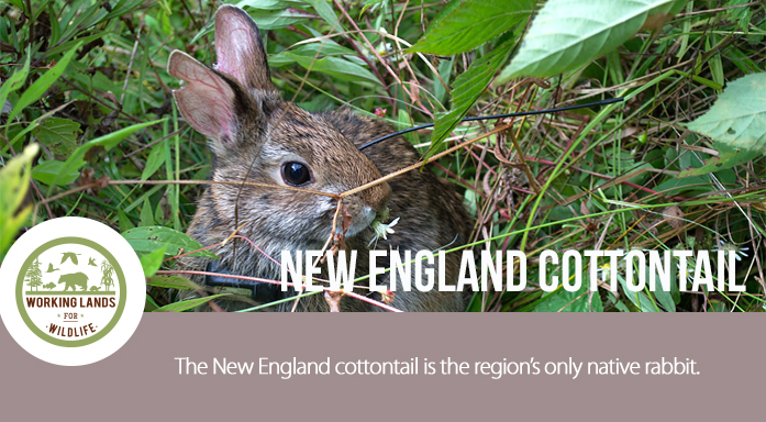 New England Cottontail Header