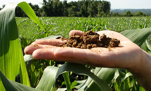 A handful of healthy soil in the middle of a cornfield.
