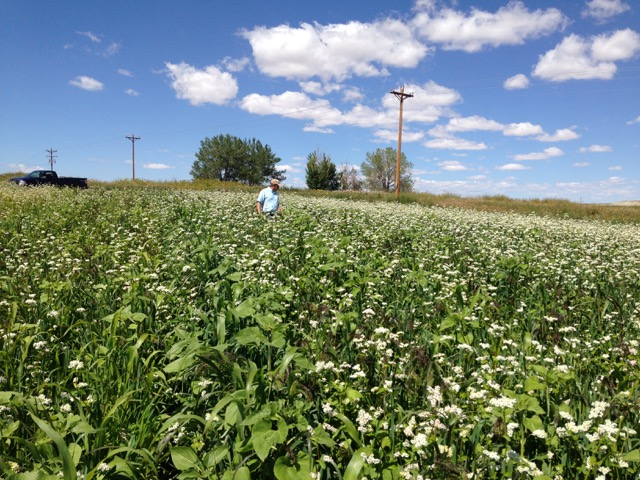 This multi-species cover crop was seeded in 2014 on the Klein farm and yielded ample growth by August. The mix contained forage corn, sunflowers, sorghum, buckwheat, radishes, turnips, kale and some additional plant species.