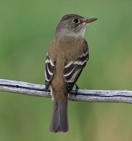 Image of Southwestern Willow Flycatcher