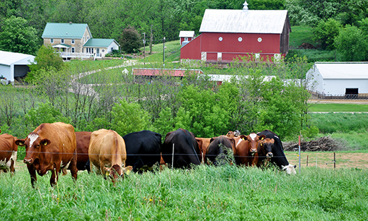 Dairy cows graze through paddocks in an Allamakee County system.