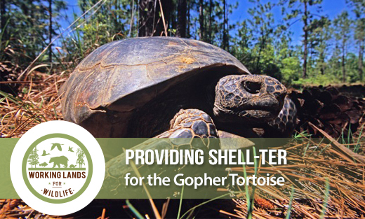 The gopher tortoise is the keystone species of America's longleaf pine forest.