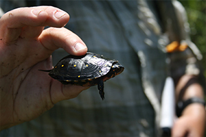 Northeast Turtle Project
