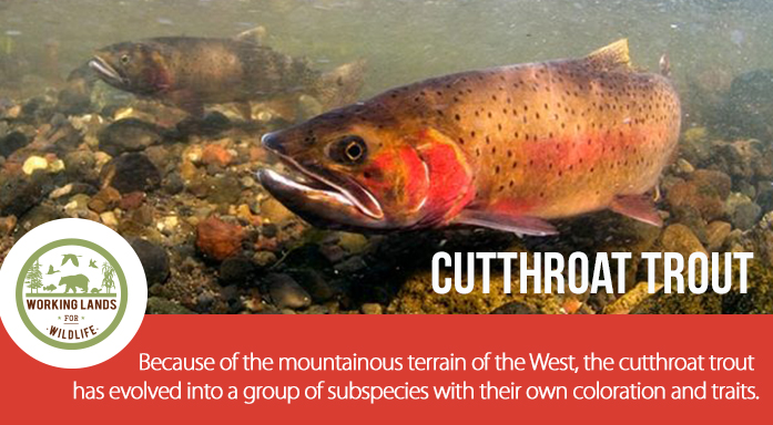 WLFW Cutthroat Page Header