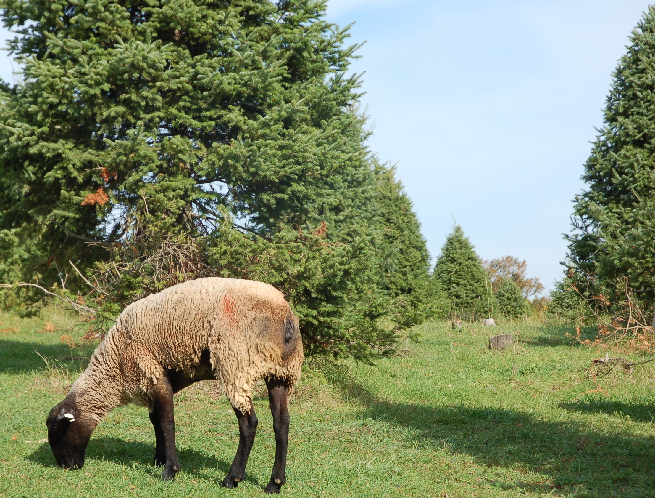 12 Gifts Of Conservation Christmas Trees Sheep Nrcs