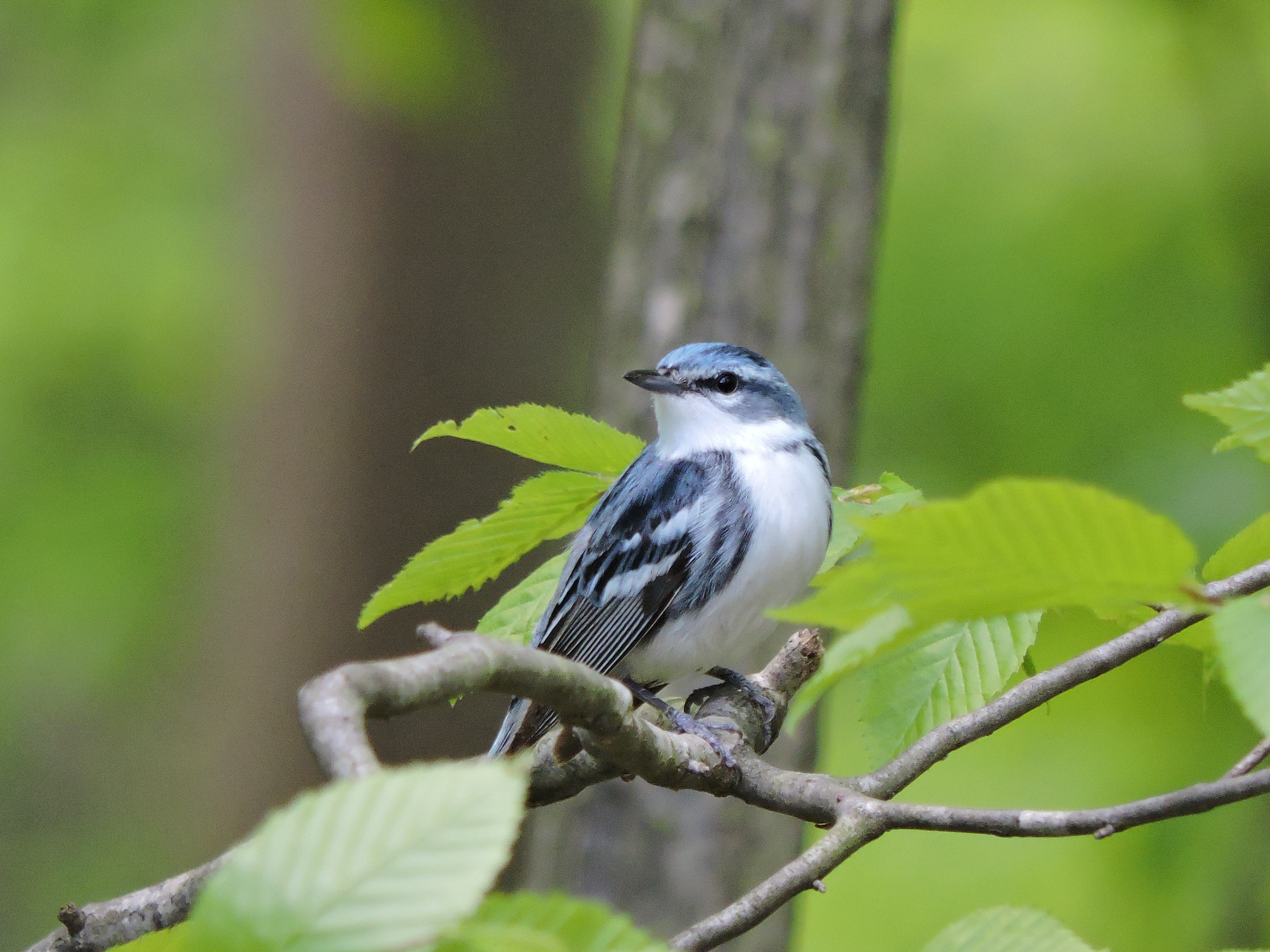The cerulean warbler nests and raises its young in the treetops above the Appalachian Mountains. Photo courtesy of DJ McNeil