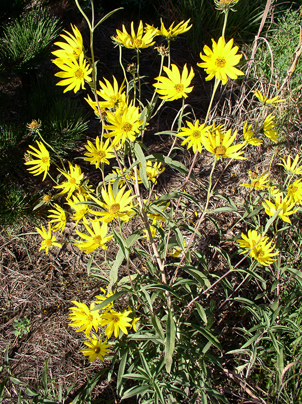 Medicine Creek Germplasm Maximilian Sunflower
