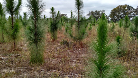 400 new acres of Longleaf pines have been planted over several decade