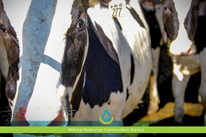 #Fridaysonthefarm: Conservation Planning Helps Keep Dairy Farm Productive Thumb