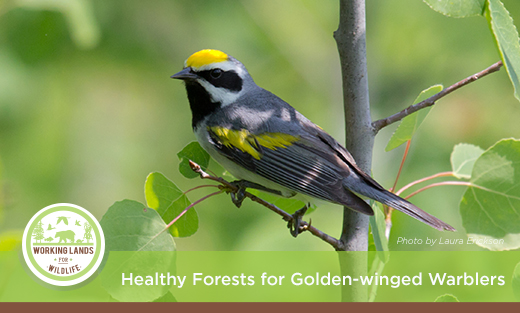 The golden-winged warbler has suffered one of the steepest population declines of any songbird species in the last 45 years, largely attributed to the decline of young forests that the migratory bird needs for nesting.