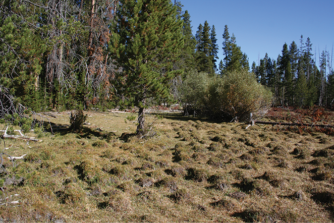 Figure 2-8. Turf hummock microfeatures in a wet meadow in Oregon.