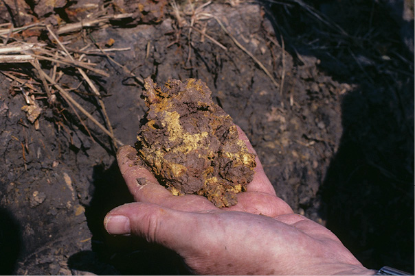 Figure 3-29. Jarosite concentrations (yellowish color) that formed due to oxidation in this drained marsh soil containing sulfides.