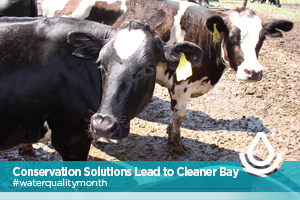 Photo of a cow for Manure Storage and Water Runoff Solutions Lead to a Cleaner Chesapeake Bay