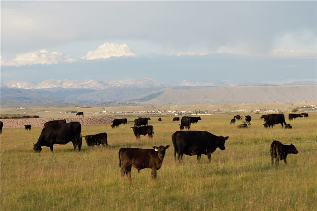 Cattle on Mike Fenn's Place in Pinedale Wyoming by Brianna Randall