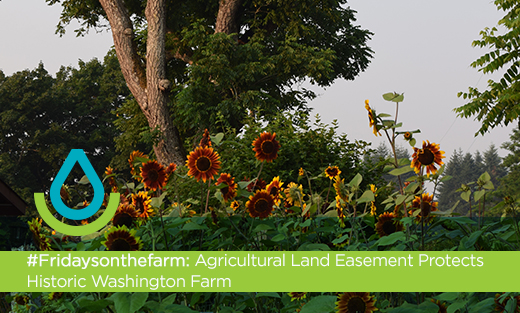 Photo of Sunflowers with Butternut Tree in the background