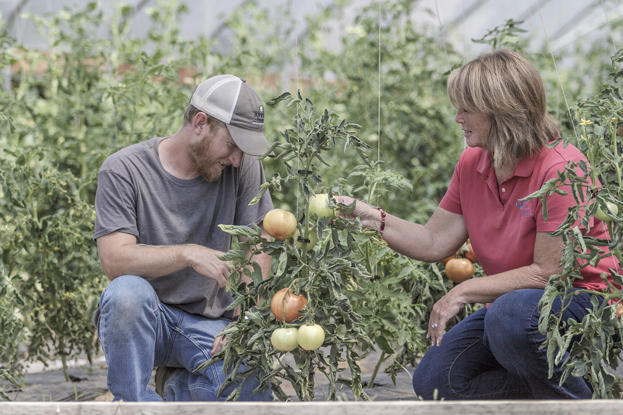 Rhonda Foster, Washington County district conservationist inspects tomatoes in Travis Appel's high tunnel. Mr. Appel received his first high tunnel in 2015.