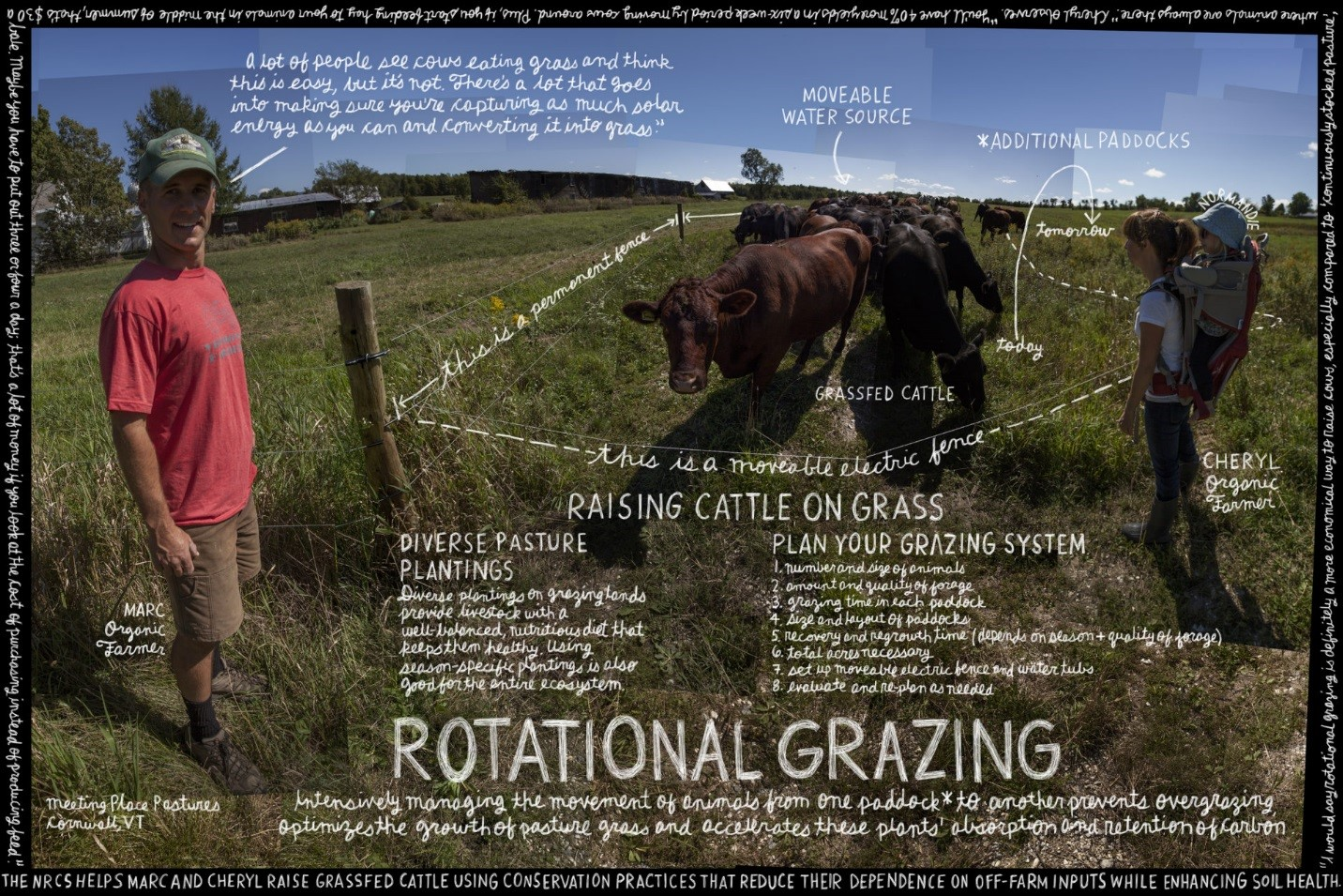 Rotational grazing image of cattle