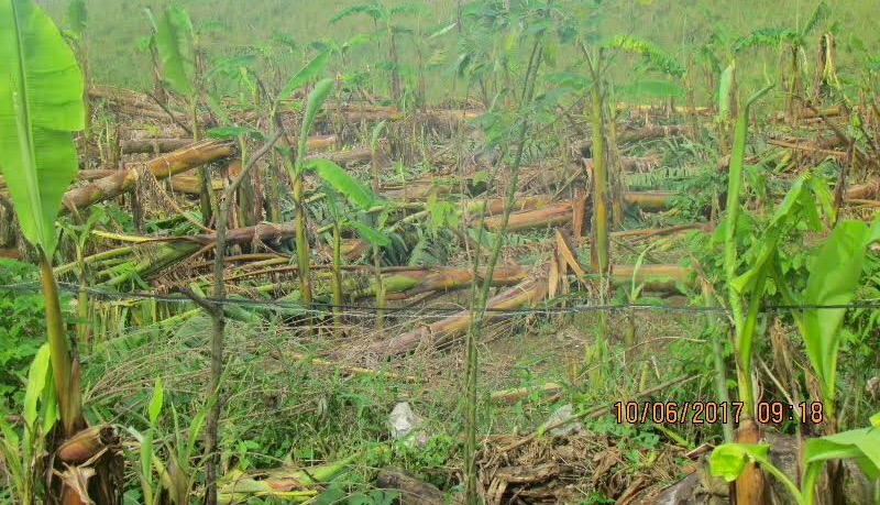 Plantain fields in Moca, PR, damaged by Hurricane Maria (photo by Michelle Catoni, Oct 6, 2017)