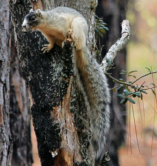 Southeastern fox squirrels flourish in open savanna-like habitat with widely-spaced trees.