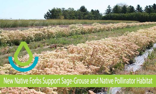 New native forbs support sage-grouse and native pollinator habitat.