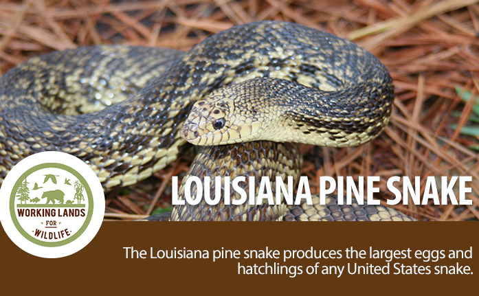 WebpageHeader-WLFW STATE PROJECTS_Louisiana Pine Snake