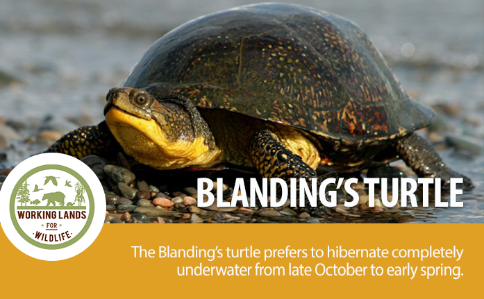WebpageHeader-WLFW STATE PROJECTS_Blandings Turtle